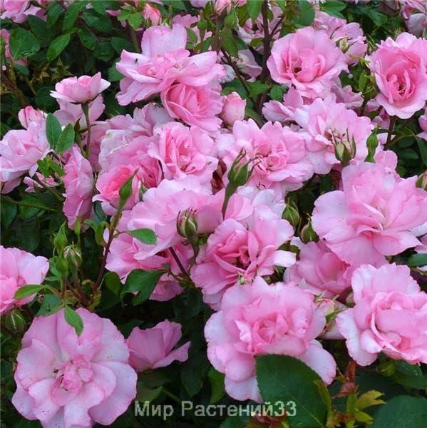 Роза полиантовая Bordure Rose. Бордюр Роз. Делбар.