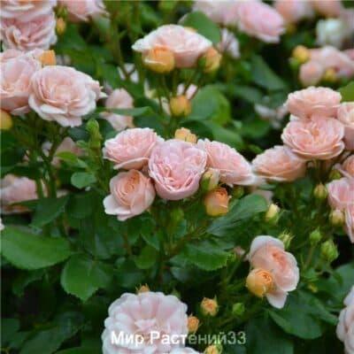 Роза полиантовая Bordure Nacrée. Бордюр Накри. Дельбар. Delbar