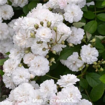 Роза полиантовая Blanche Cascade. Бланш Каскад. Делбар.