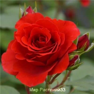 Роза плетистая Liliana. Лилиана. Дельбар. Delbar