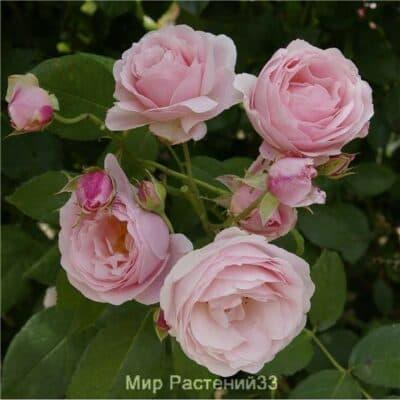 Роза плетистая Billet Doux. Бийе Ду. Дельбар. Delbar
