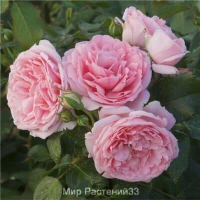 Роза флорибунда Comtesse De Ségur. Комтес де Сегюр. Дельбар. Delbar