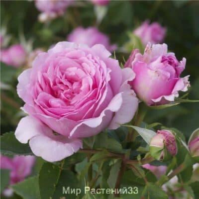 Роза плетистая Bienvenue. Бьянвеню. Дельбар. Delbar