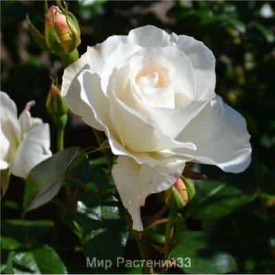 Роза чайно-гибридная Grand Nord. Гранд Норд. Делбар.
