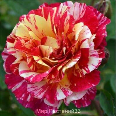 Роза чайно-гибридная Maurice Utrillo. Морис Утрилло. Делбар.