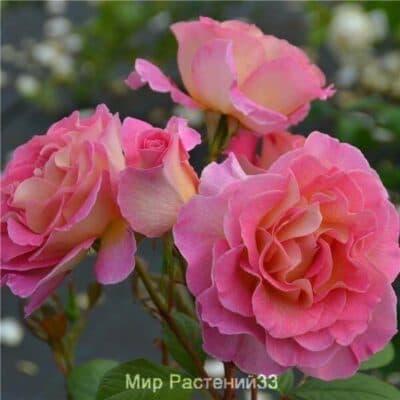 Роза чайно-гибридная Pink Paradise. Пинк Парадайс. Делбар.