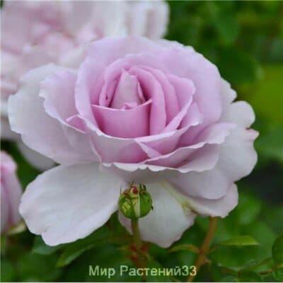 Роза флорибунда Rose Synactif by Shiseido. Роуз Сайнактив бай Шизейдо. Дельбар. Delbar