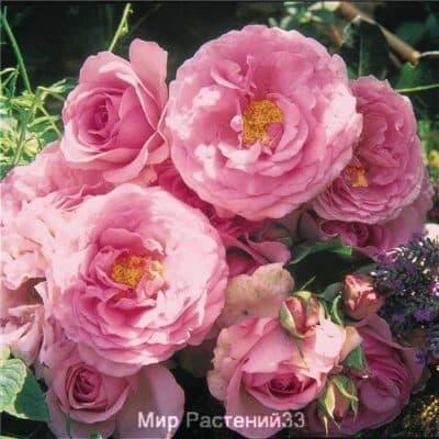 Роза флорибунда Souvenir de Louis Amade. Сувенир де Луис Амаде. Дельбар. Delbar
