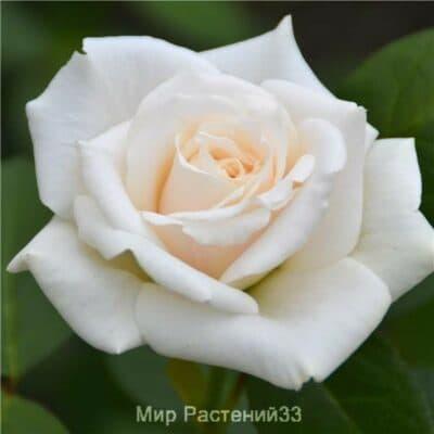 Роза плетистая Blanche Colombe. Бланш Колом. Делбар.
