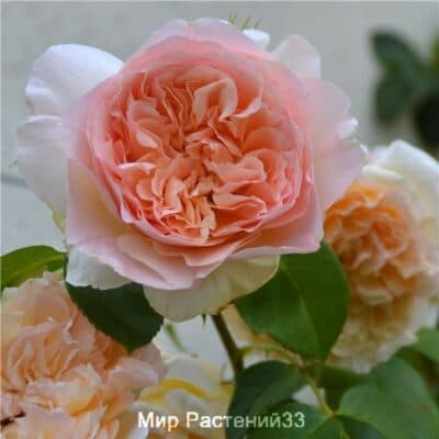 Роза плетистая Papi Delbard. Папи Дельбар