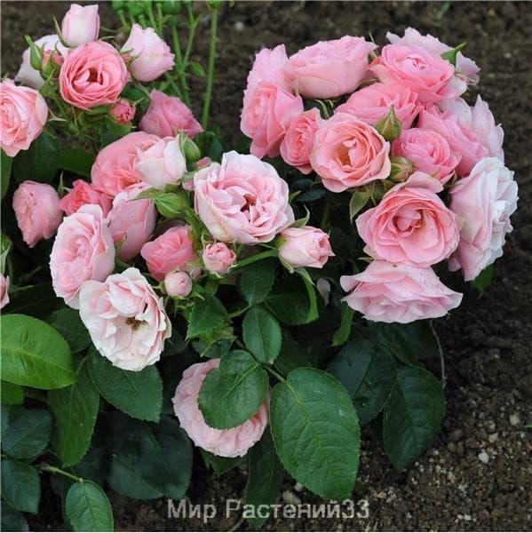 Роза полиантовая Bouquet de Mariée. Буке де Марье. Дельбар. Delbar