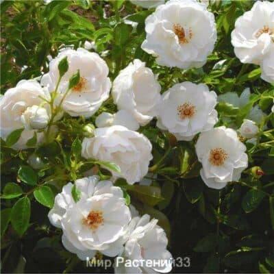 Роза полиантовая Dominique Loiseau. Доминик Луазо. Дельбар. Delbar