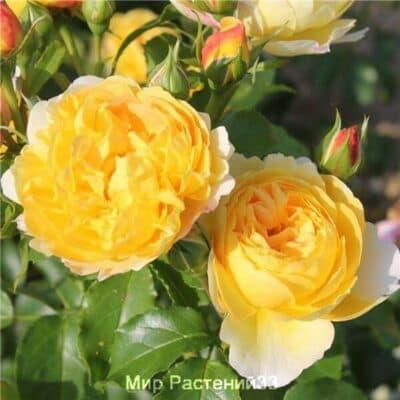 Роза чайно-гибридная Château de Cheverny. Шато де Шеверни. Дельбар. Delbar