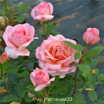 Роза чайно-гибридная Belle du Seigneur. Бель де Сеньор. Делбар.