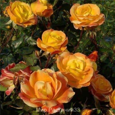 Роза флорибунда Soleil du Monde. Солей дю Монд. Дельбар. Delbar