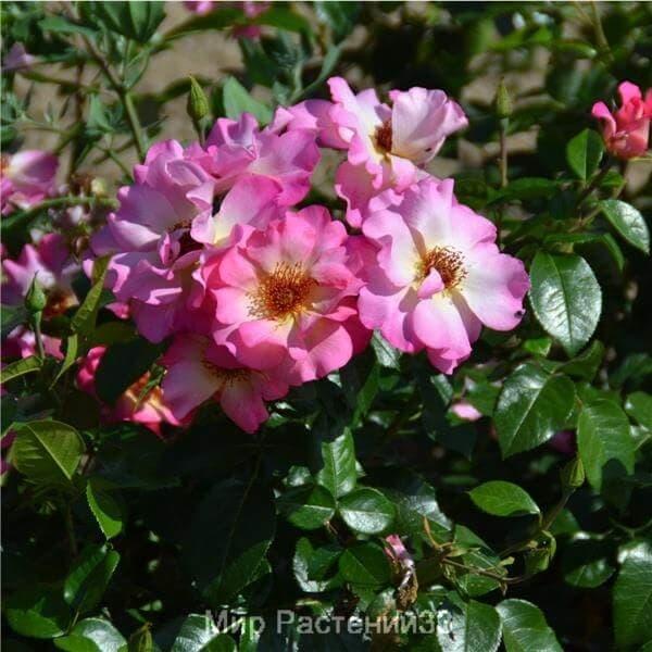Роза полиантовая Tourmaline. Турмалин. Дельбар. Delbar