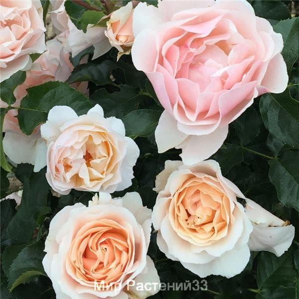 Роза флорибунда Jardin des Tuileries. Жардан де Тюльри. Делбар.