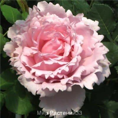 Роза чайно-гибридная Sophie Rochas. Софи Рошас. Делбар.