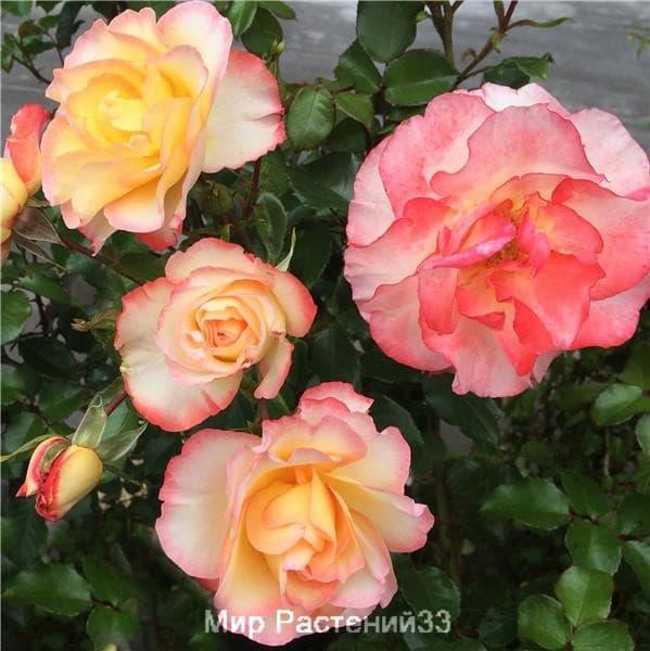 Роза полиантовая Rose de Lourdes. Роз де Люрд. Дельбар. Delbar