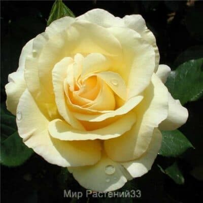Роза чайно-гибридная Béatrice I d´Este. Батрис ль Дэст. Делбар.