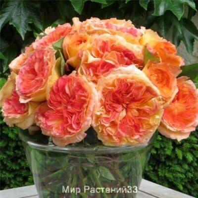 Роза чайно-гибридная Henri Delbard. Анри Делбард. Делбар.