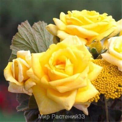Роза чайно-гибридная Epidor. Эпидор. Делбар.