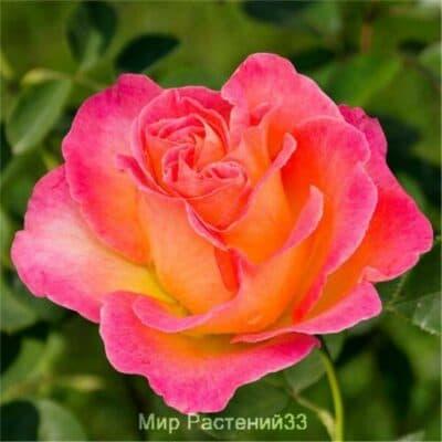 Роза чайно-гибридная La Passionata. Ла Пассионата. Делбар.