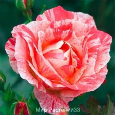 Роза флорибунда Grimaldi. Гримальди. Делбар.