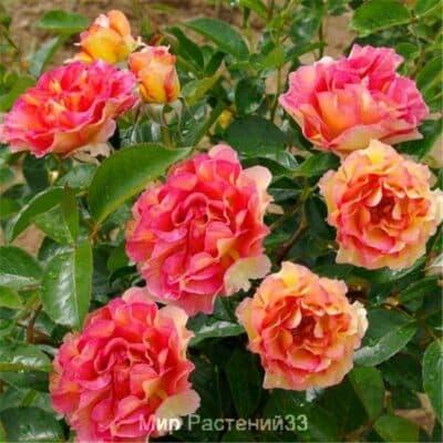 Роза флорибунда La Parisienne. Ла Парисьен. Делбар.