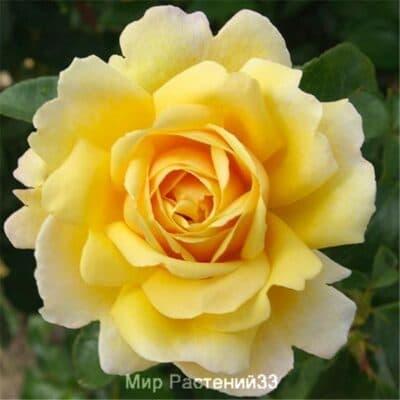 Роза плетистая Soleil Vertical. Солей Вертикаль. Делбар.