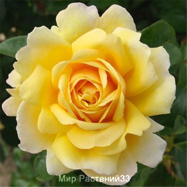Роза плетистая Soleil Vertical. Солей Вертикаль. Дельбар. Delbar