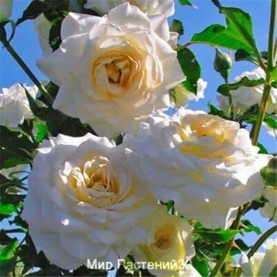 Роза флорибунда Centenaire de Lourdes (Blanc). Сентенёр де Люрд (Блан). Делбар.