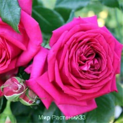 Роза флорибунда Régis Marcon. Режис Маркон. Дельбар. Delbar