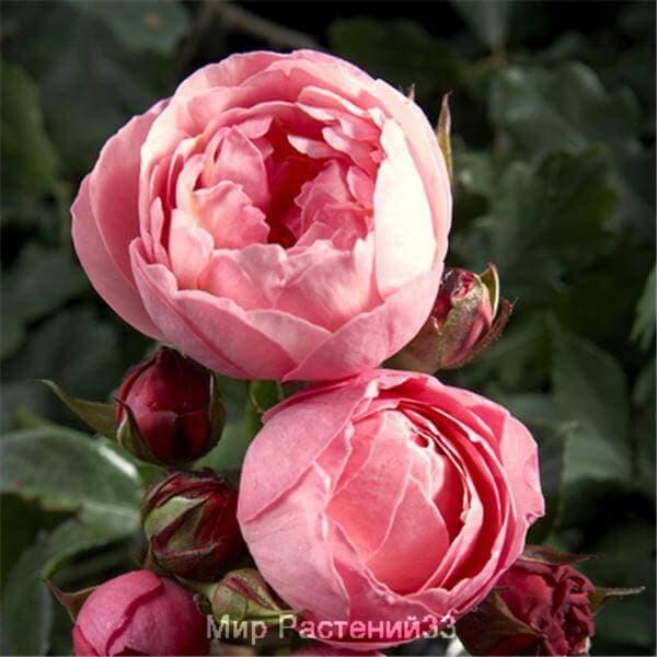 Роза флорибунда Raymond Blanc. Раймонд Блан. Делбар.