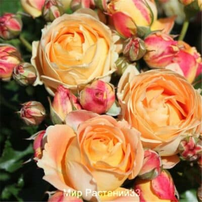 Роза флорибунда Dolce Vita. Дольче Вита. Дельбар. Delbar
