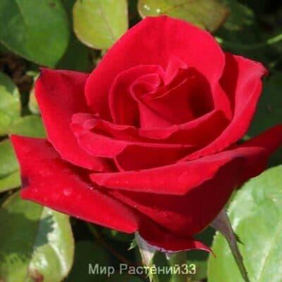 Роза чайно-гибридная Madame Delbard. Мадам Дельбар