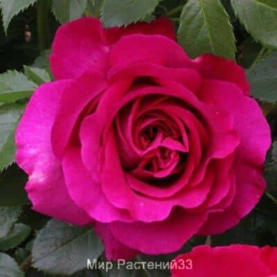 Роза чайно-гибридная Chartreuse de Parme. Шартрёз де Парм. Делбар.