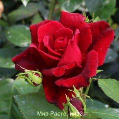 Роза чайно-гибридная Château D´Amboise. Шато д'Амбойс. Делбар.