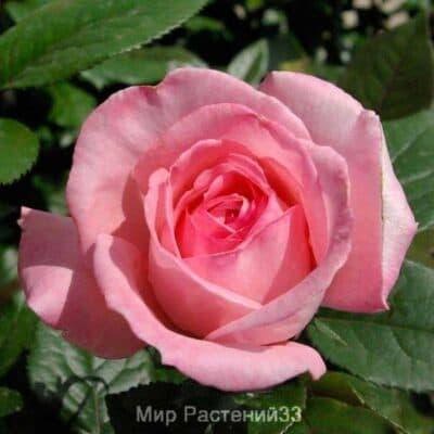 Роза чайно-гибридная Fragonard. Фрагонар. Делбар.
