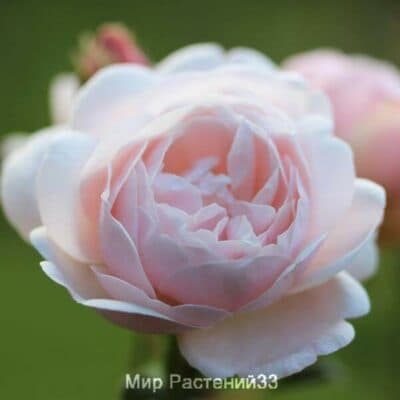 Роза флорибунда Vichy. Виши. Делбар.