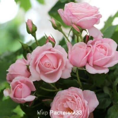 Роза плетистая Nahéma. Нейма. Делбар.
