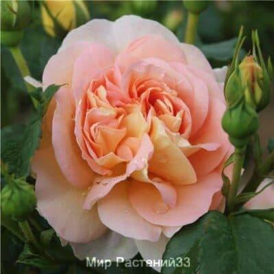 Роза чайно-гибридная Amélie Nothomb. Амели Нотомб. Дельбар. Delbar