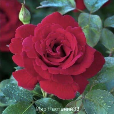 Роза чайно-гибридная Le Rouge et Le Noir. Ле руж э ле Нуар. Дельбар. Delbar