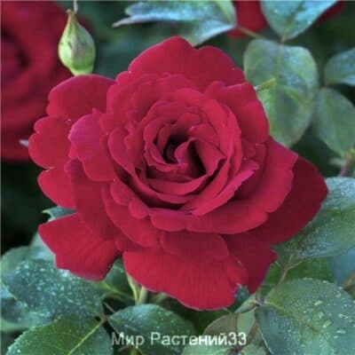 Роза чайно-гибридная Le Rouge et Le Noir. Ле руж э ле Нуар. Делбар.
