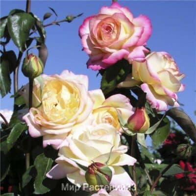 Роза чайно-гибридная Mitsouko. Мицуку. Делбар.