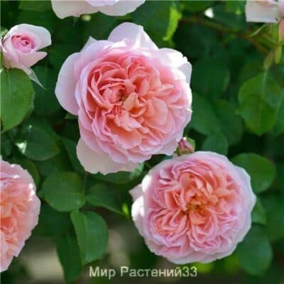 Роза флорибунда Dames de Chenonceau. Дам де Шенонсо. Делбар.