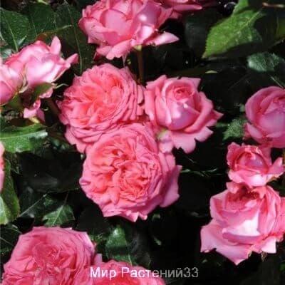 Роза штамбовая La Rose de Molinard. Ля Роз де Молинар. Дельбар. Delbar.