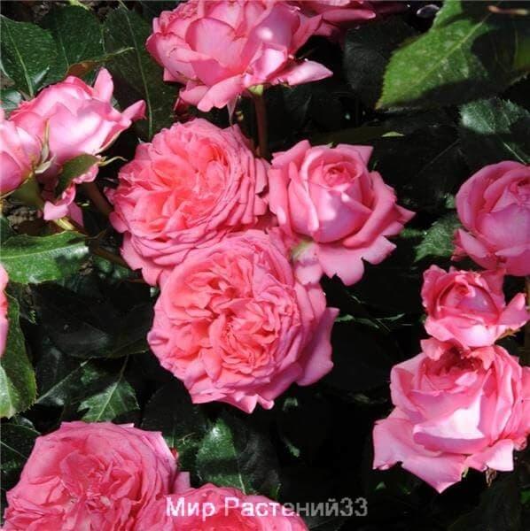 Роза флорибунда La Rose de Molinard. Ля Роз де Молинар. Дельбар. Delbar
