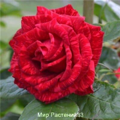 Роза чайно-гибридная Red Intuition. Рэд Интуисьон. Делбар.