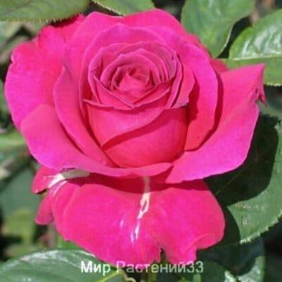 Роза чайно-гибридная Lancôme. Ланком. Делбар.